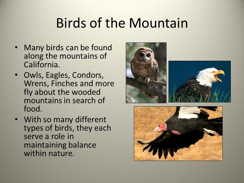 Birds of the Mountain Many birds can be found along the mountains of California. Owls, Eagles, Condors, Wrens, Finches and more fly about the wooded m