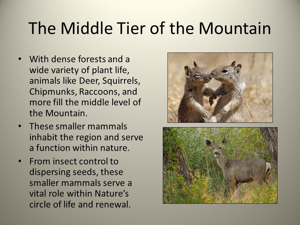 The Middle Tier of the Mountain With dense forests and a wide variety of plant life, animals like Deer, Squirrels, Chipmunks, Raccoons, and more fill