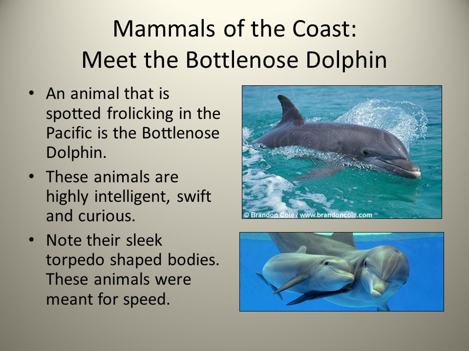 Mammals of the Coast: Meet the Bottlenose Dolphin An animal that is spotted frolicking in the Pacific is the Bottlenose Dolphin. These animals are hig