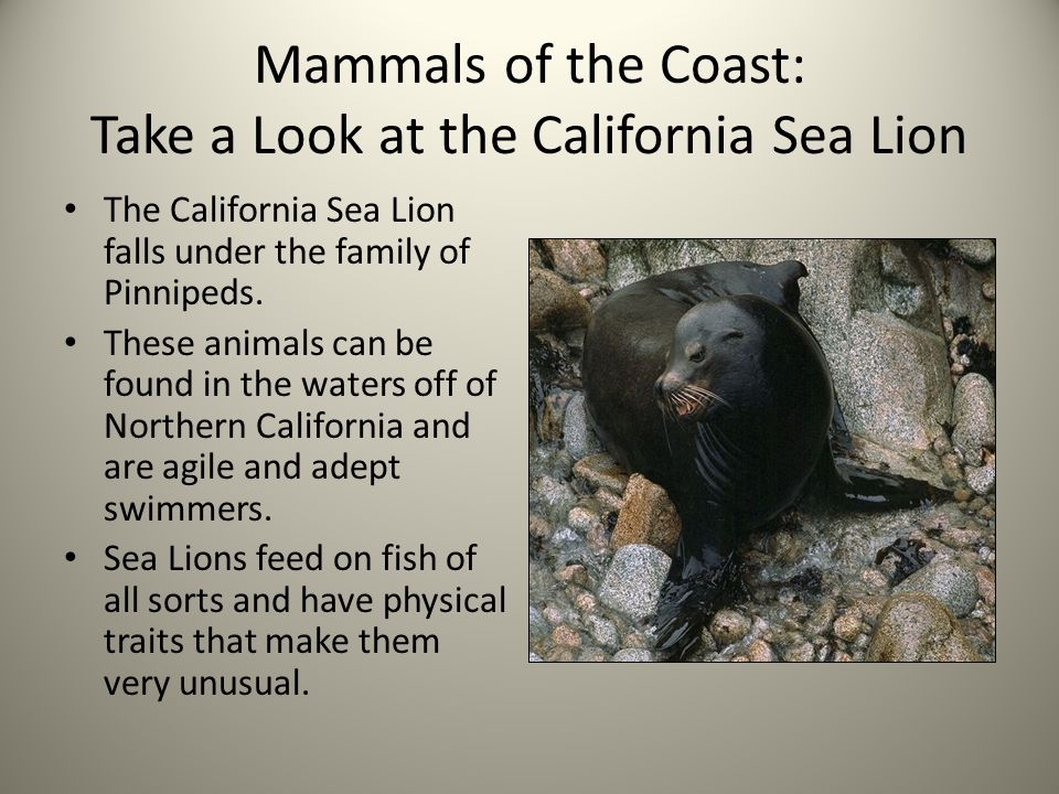 Mammals of the Coast: Take a Look at the California Sea Lion The California Sea Lion falls under the family of Pinnipeds.