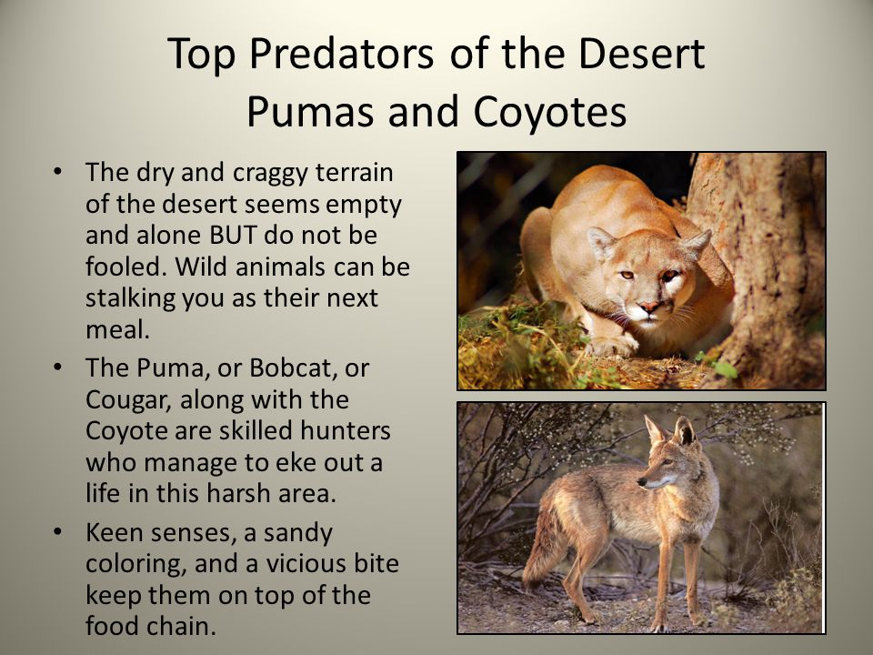 Top Predators of the Desert Pumas and Coyotes The dry and craggy terrain of the desert seems empty and alone BUT do not be fooled. Wild animals can be