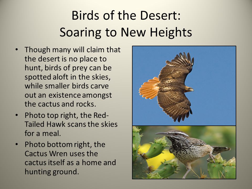 Birds of the Desert: Soaring to New Heights Though many will claim that the desert is no place to hunt, birds of prey can be spotted aloft in the skies, while smaller birds carve out an existence amongst the cactus and rocks.