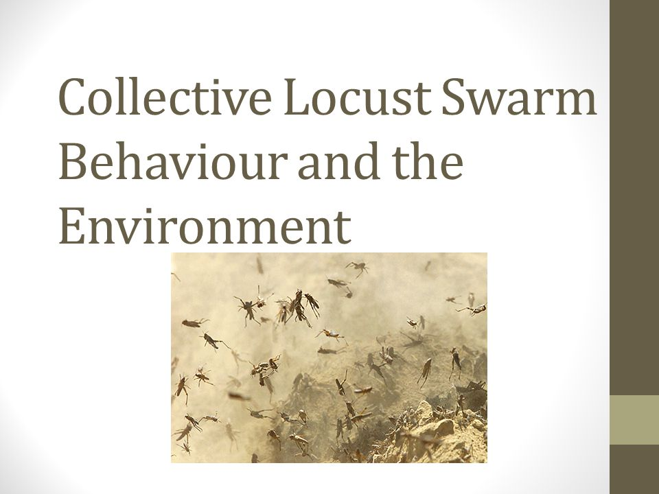 When environmental conditions are favorable locusts breed rapidly greatly increasing their population numbers They first form bands as nymphs and then after 5 molts as adults they can form Swarms These swarms have been known to cover hundreds of square miles and contain up to a billion locusts