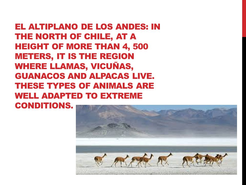 EL ALTIPLANO DE LOS ANDES: IN THE NORTH OF CHILE, AT A HEIGHT OF MORE THAN 4, 500 METERS, IT IS THE REGION WHERE LLAMAS, VICUÑAS, GUANACOS AND ALPACAS LIVE.
