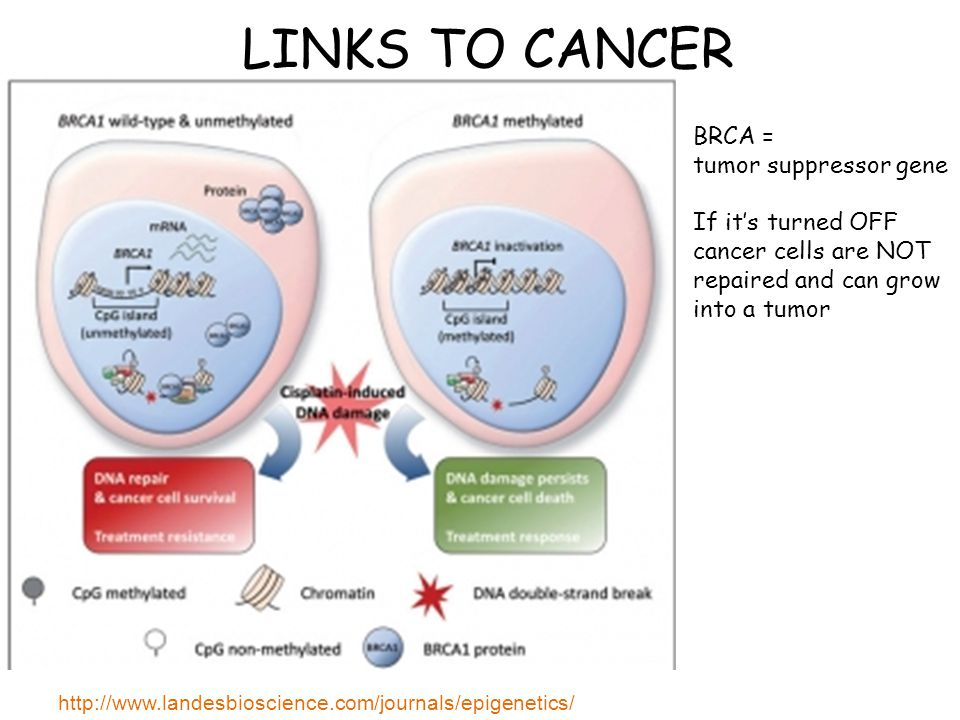 LINKS TO CANCER http://www.landesbioscience.com/journals/epigenetics/ BRCA = tumor suppressor gene If it's turned OFF cancer cells are NOT repaired and can grow into a tumor