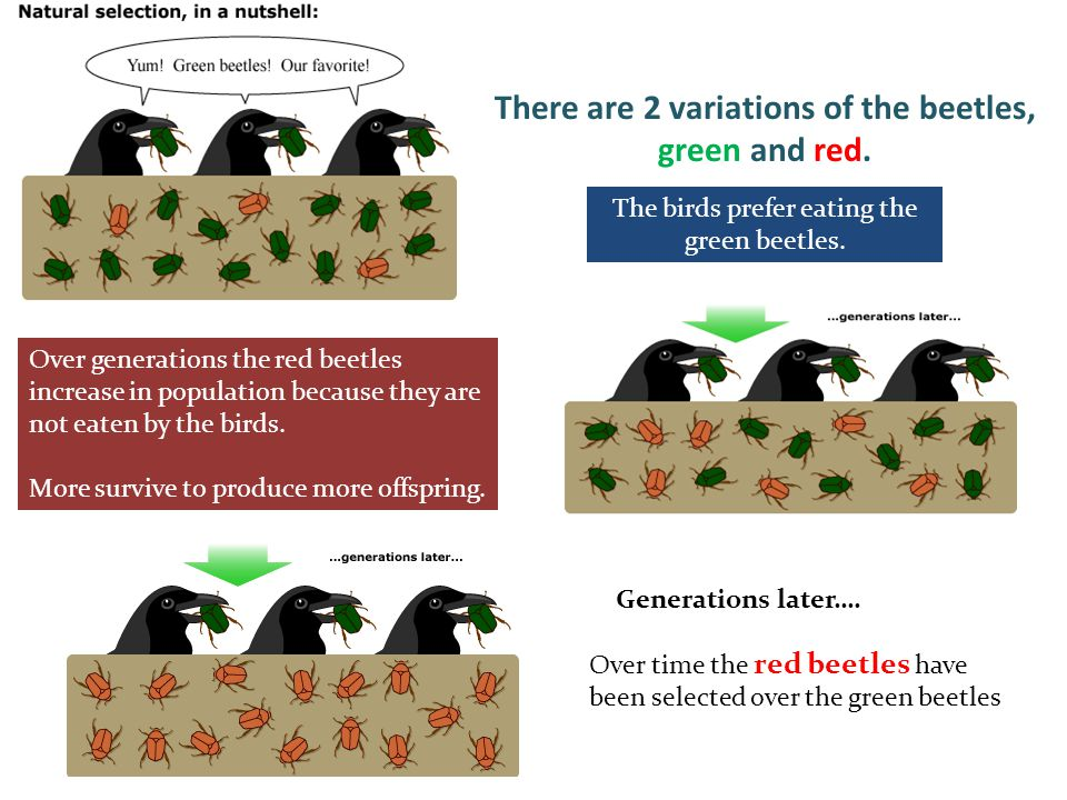 There are 2 variations of the beetles, green and red. The birds prefer eating the green beetles. Over generations the red beetles increase in populati