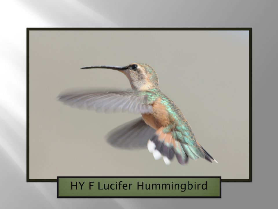 HY F Lucifer Hummingbird