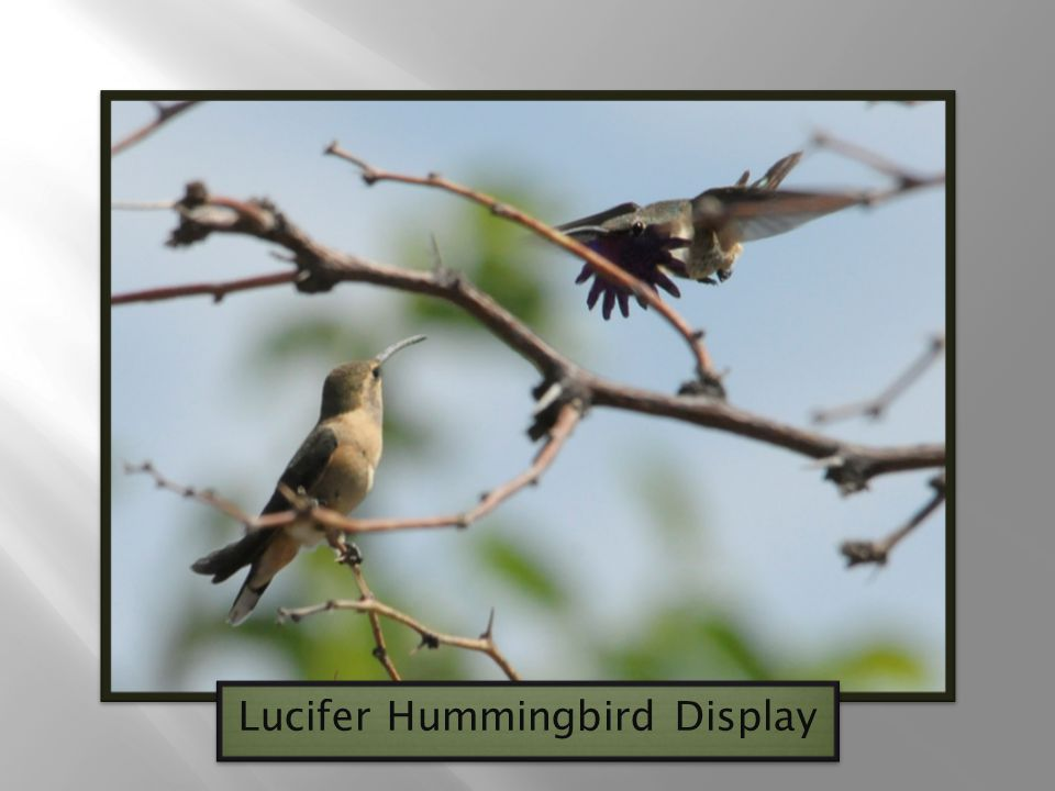 Lucifer Hummingbird Display