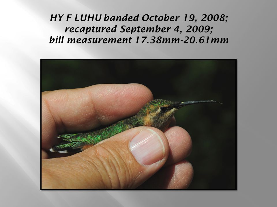 HY F LUHU banded October 19, 2008; recaptured September 4, 2009; bill measurement 17.38mm-20.61mm