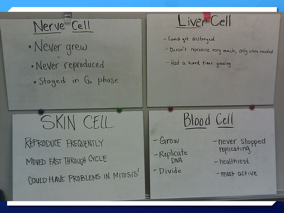  How were these cells different when it came to the cell cycle.