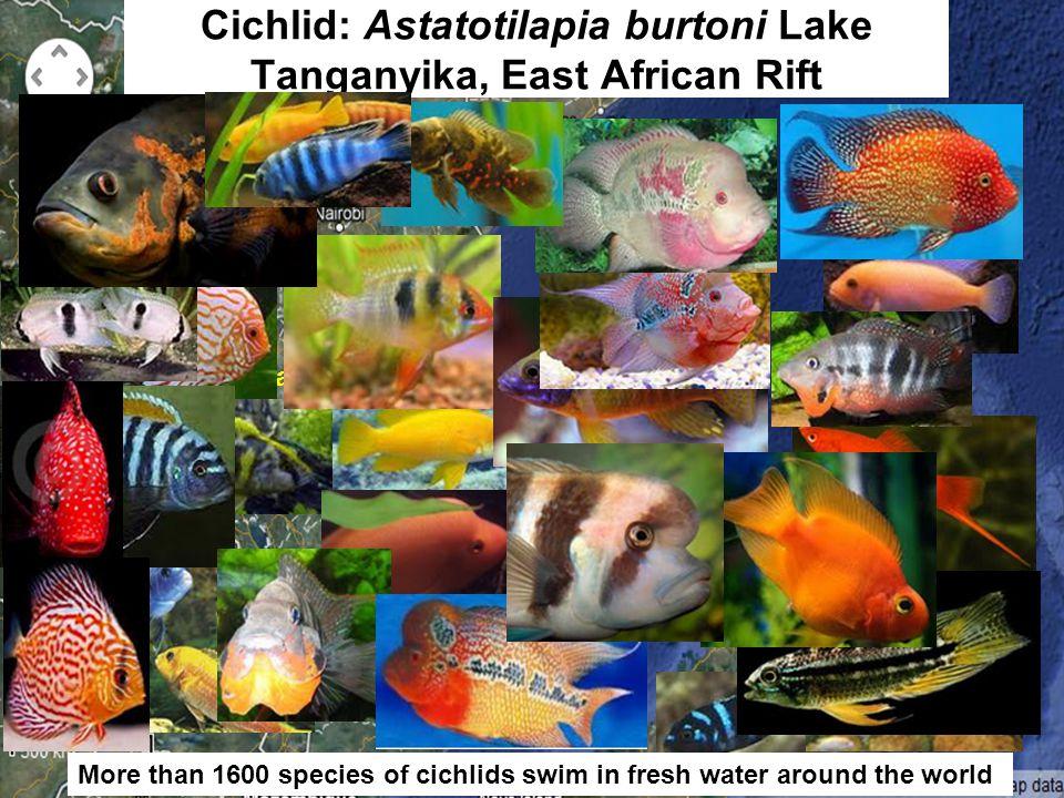 Lake Victoria Lake Tanganyika Lake Malawi Cichlid: Astatotilapia burtoni Lake Tanganyika, East African Rift More than 1600 species of cichlids swim in fresh water around the world