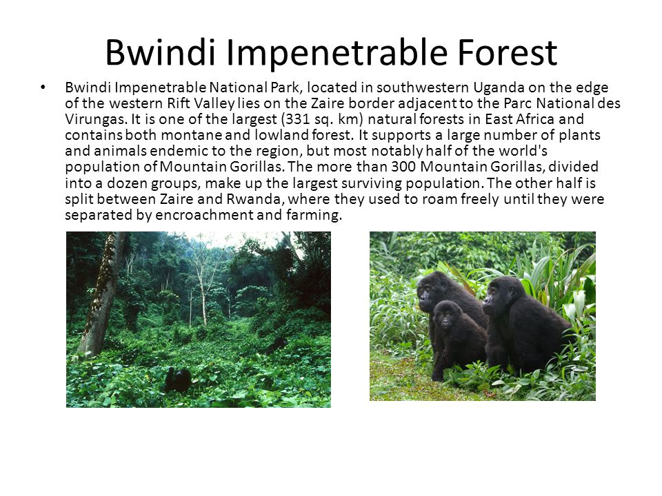 Bwindi Impenetrable Forest Bwindi Impenetrable National Park, located in southwestern Uganda on the edge of the western Rift Valley lies on the Zaire border adjacent to the Parc National des Virungas.