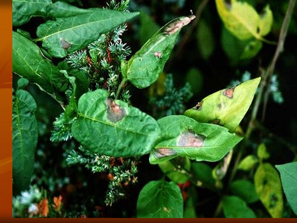 Late blight of potato Symptoms Symptoms In moist weather In moist weather In dry weather In dry weather Pathogen: Phytophthora infestans Pathogen: Phytophthora infestans Mating type A1 and A2 Mating type A1 and A2