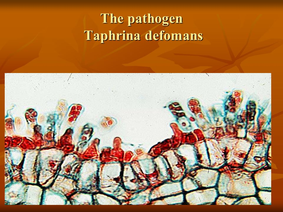 Leaf curl Diseases caused by Taphrina Deformation on stone fruit, forest trees.