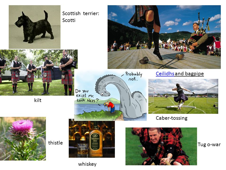 Scottish terrier: Scotti thistle CeilidhsCeilidhs and bagpipe Caber-tossing Tug o-war kilt whiskey