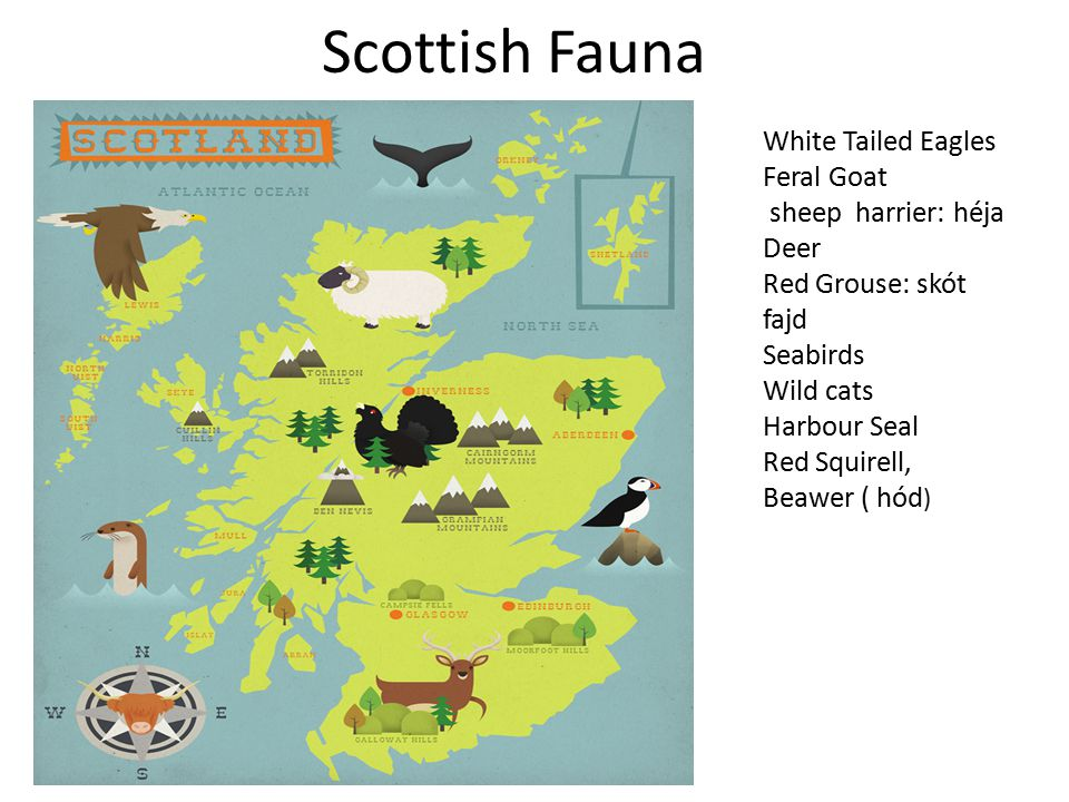Scottish Fauna White Tailed Eagles Feral Goat sheep harrier: héja Deer Red Grouse: skót fajd Seabirds Wild cats Harbour Seal Red Squirell, Beawer ( hó