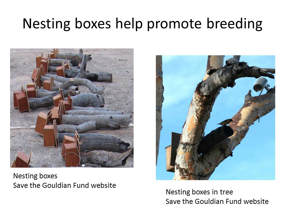Nesting boxes help promote breeding Nesting boxes Save the Gouldian Fund website Nesting boxes in tree Save the Gouldian Fund website