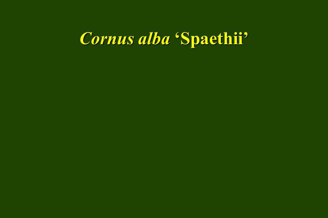 Cornus racemosa gray dogwood SIZE: Medium shrub HABIT: Multistemmed; upright mounding; suckers freely mounding; suckers freely