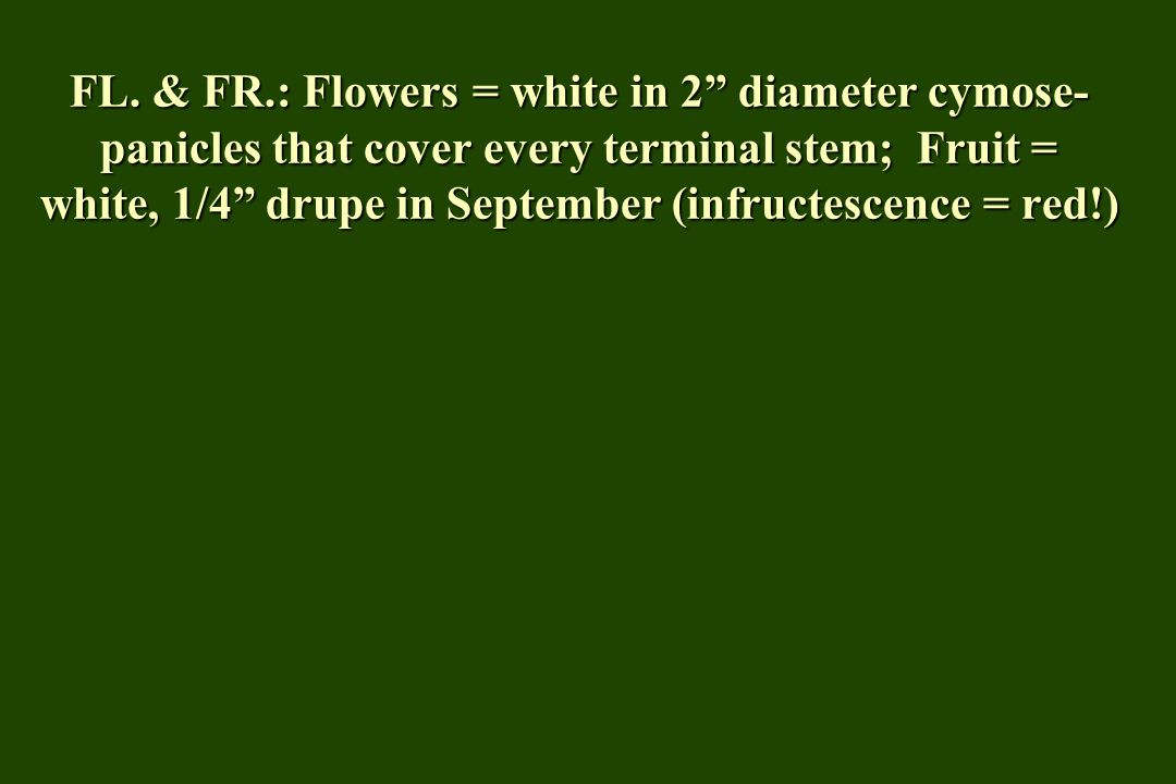 "FL. & FR.: Flowers = white in 2"" diameter cymose- panicles that cover every terminal stem; Fruit = white, 1/4"" drupe in September (infructescence = re"