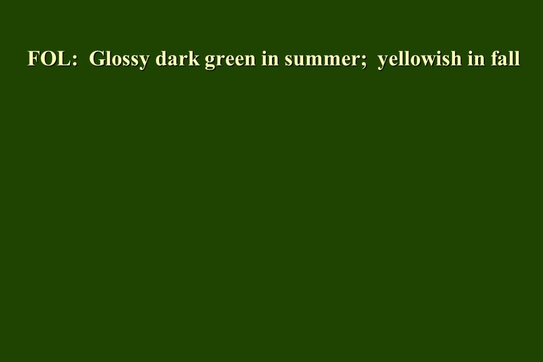 FOL: Glossy dark green in summer; yellowish in fall