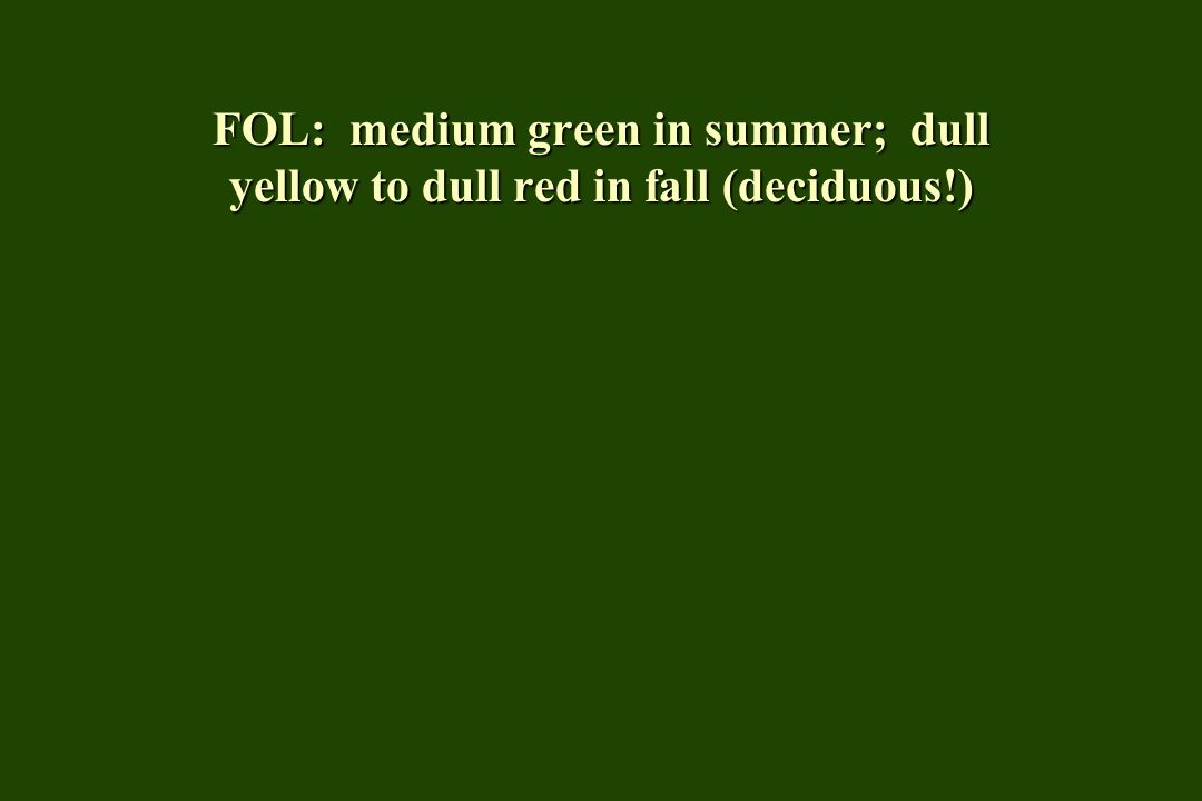 FOL: medium green in summer; dull yellow to dull red in fall (deciduous!)