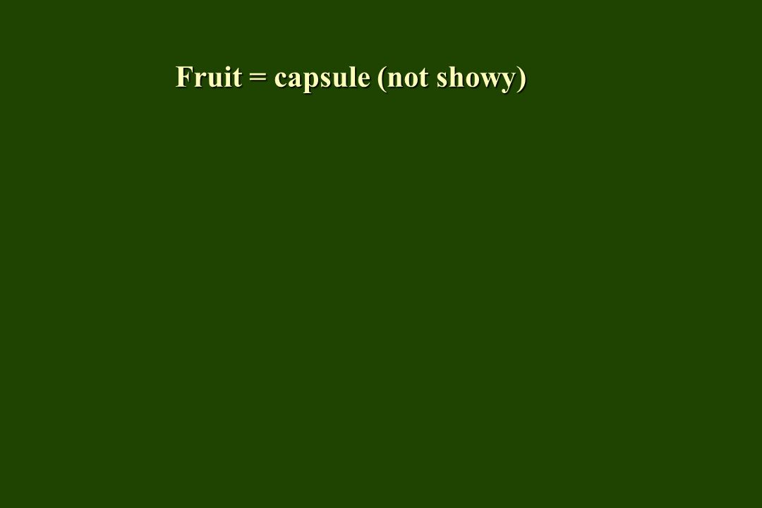 Fruit = capsule (not showy)