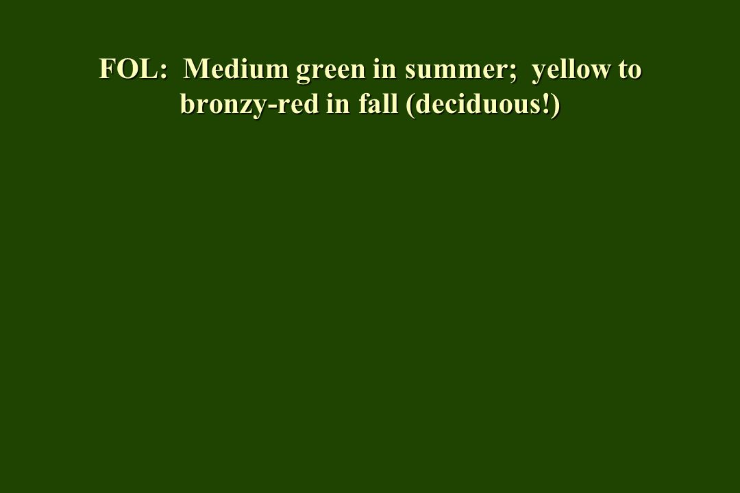 FOL: Medium green in summer; yellow to bronzy-red in fall (deciduous!)