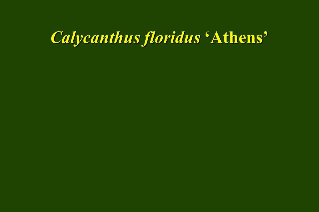 Euonymus alatus 'Compactus' dwarf winged euonymus SIZE: Medium shrub HABIT: Rounded to horizontal spreading
