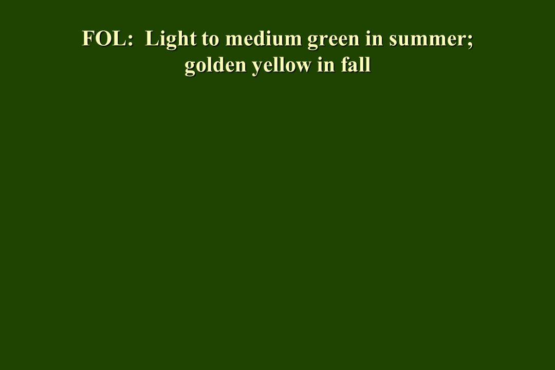 FOL: Light to medium green in summer; golden yellow in fall