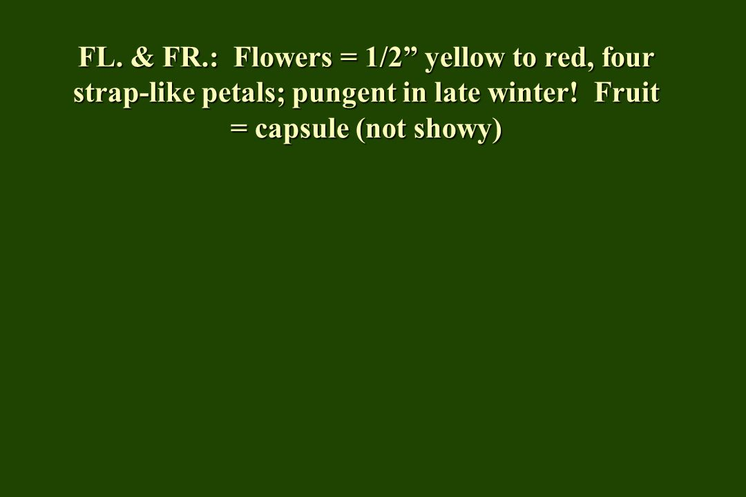 FL. & FR.: Flowers = 1/2 yellow to red, four strap-like petals; pungent in late winter.