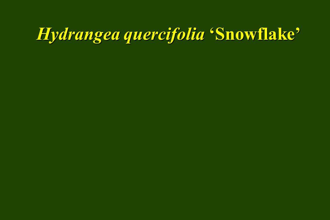 Hydrangea quercifolia 'Pee-wee'