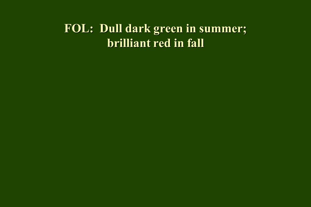 FOL: Dull dark green in summer; brilliant red in fall