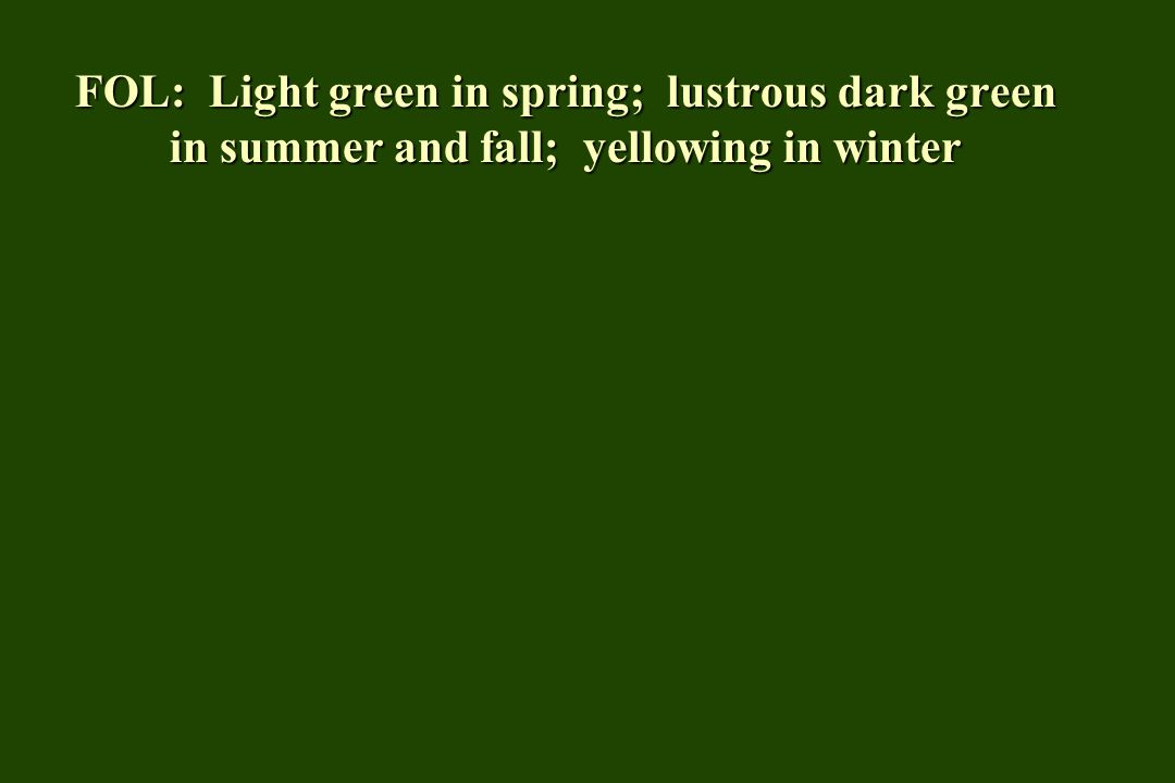 FOL: Light green in spring; lustrous dark green in summer and fall; yellowing in winter