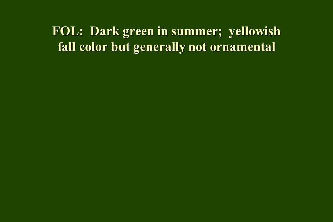 FOL: Dark green in summer; yellowish fall color but generally not ornamental