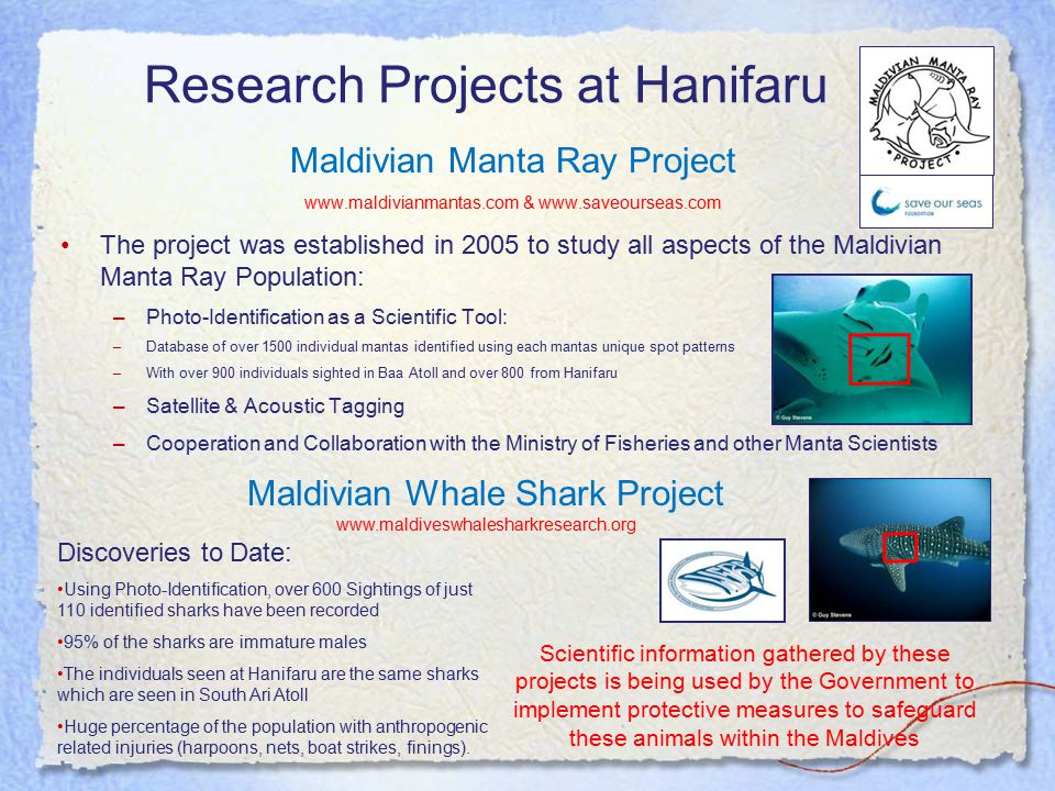 Research Projects at Hanifaru Maldivian Manta Ray Project www.maldivianmantas.com & www.saveourseas.com The project was established in 2005 to study all aspects of the Maldivian Manta Ray Population: –Photo-Identification as a Scientific Tool: –Database of over 1500 individual mantas identified using each mantas unique spot patterns –With over 900 individuals sighted in Baa Atoll and over 800 from Hanifaru –Satellite & Acoustic Tagging –Cooperation and Collaboration with the Ministry of Fisheries and other Manta Scientists Scientific information gathered by these projects is being used by the Government to implement protective measures to safeguard these animals within the Maldives Maldivian Whale Shark Project www.maldiveswhalesharkresearch.org Discoveries to Date: Using Photo-Identification, over 600 Sightings of just 110 identified sharks have been recorded 95% of the sharks are immature males The individuals seen at Hanifaru are the same sharks which are seen in South Ari Atoll Huge percentage of the population with anthropogenic related injuries (harpoons, nets, boat strikes, finings).