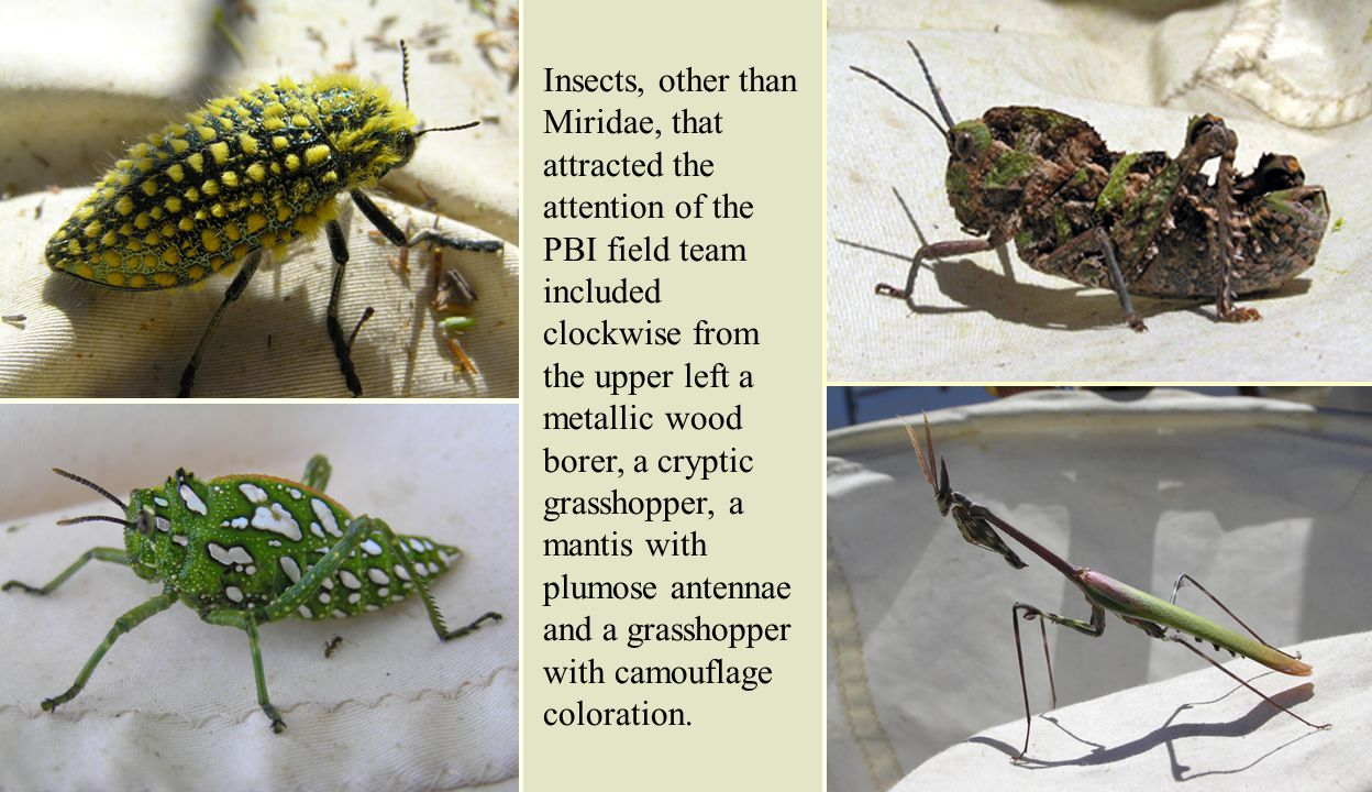 Insects, other than Miridae, that attracted the attention of the PBI field team included clockwise from the upper left a metallic wood borer, a cryptic grasshopper, a mantis with plumose antennae and a grasshopper with camouflage coloration.