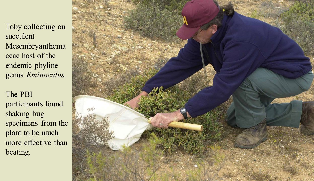 Toby collecting on succulent Mesembryanthema ceae host of the endemic phyline genus Eminoculus. The PBI participants found shaking bug specimens from