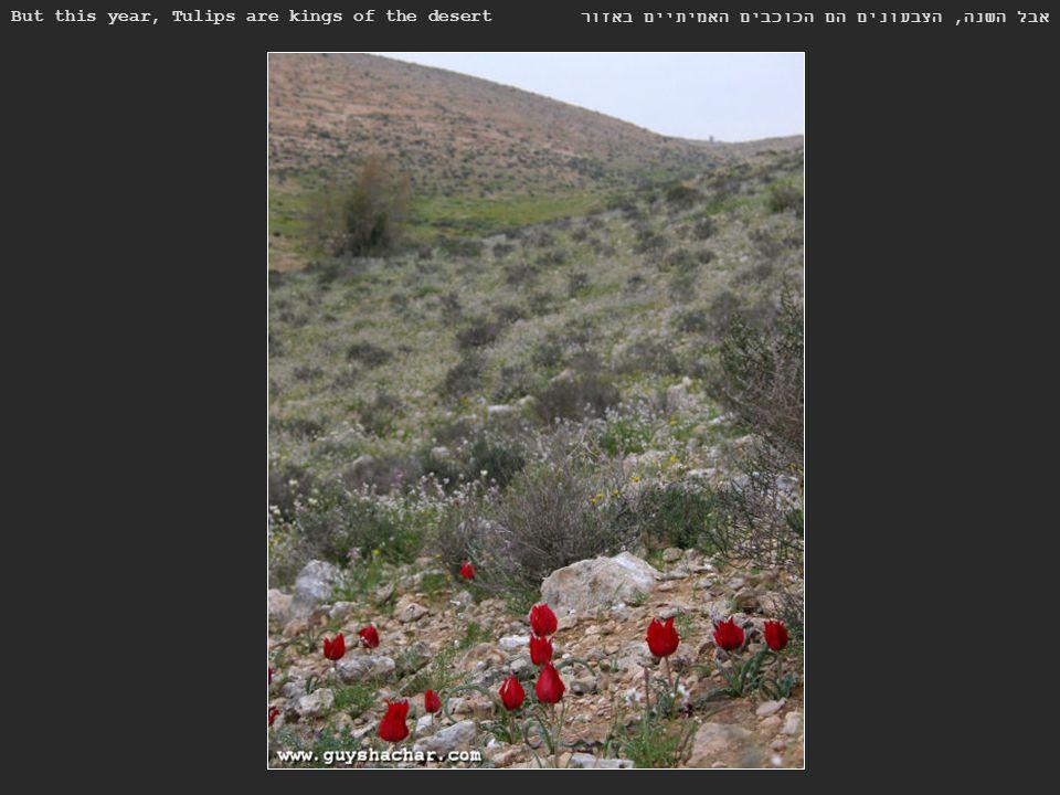 But this year, Tulips are kings of the desert אבל השנה, הצבעונים הם הכוכבים האמיתיים באזור