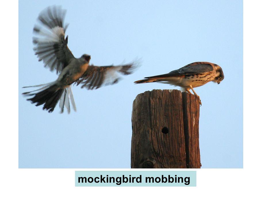 mockingbird mobbing