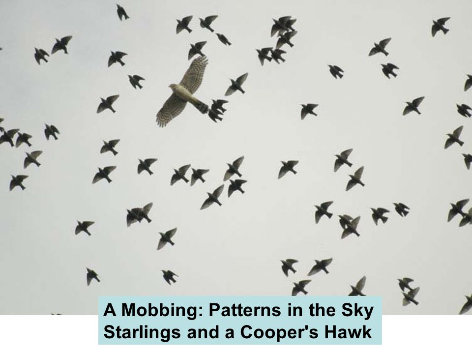 A Mobbing: Patterns in the Sky Starlings and a Cooper s Hawk