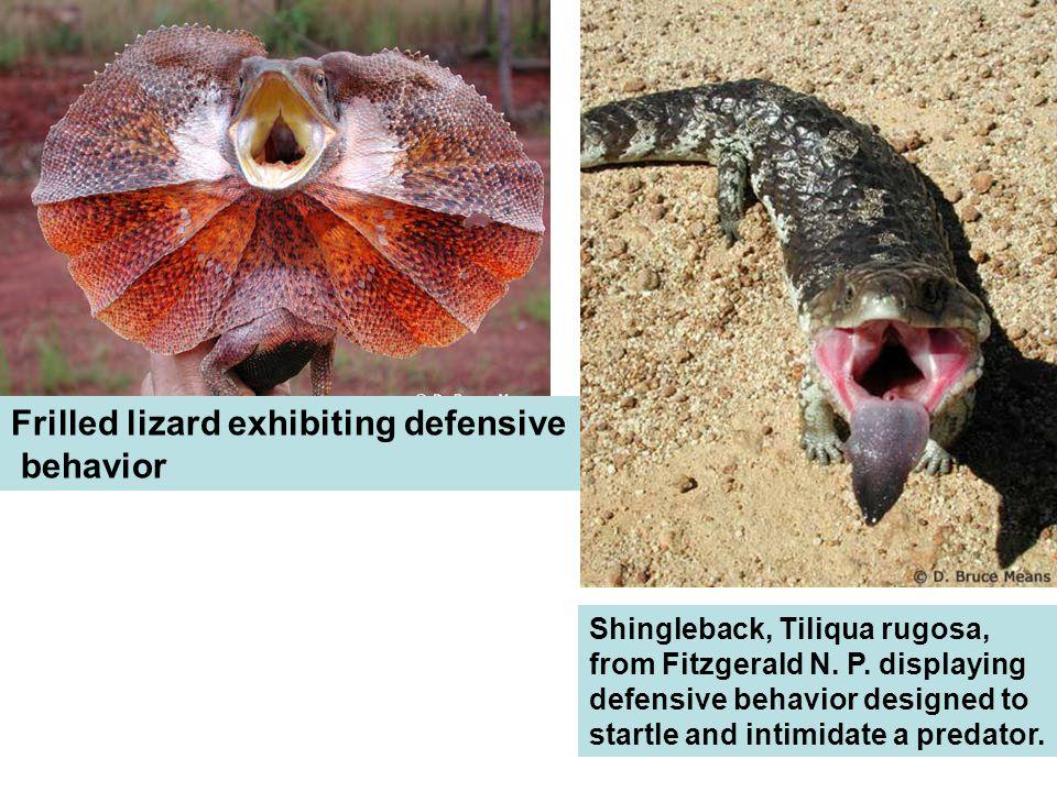 Frilled lizard exhibiting defensive behavior Shingleback, Tiliqua rugosa, from Fitzgerald N.