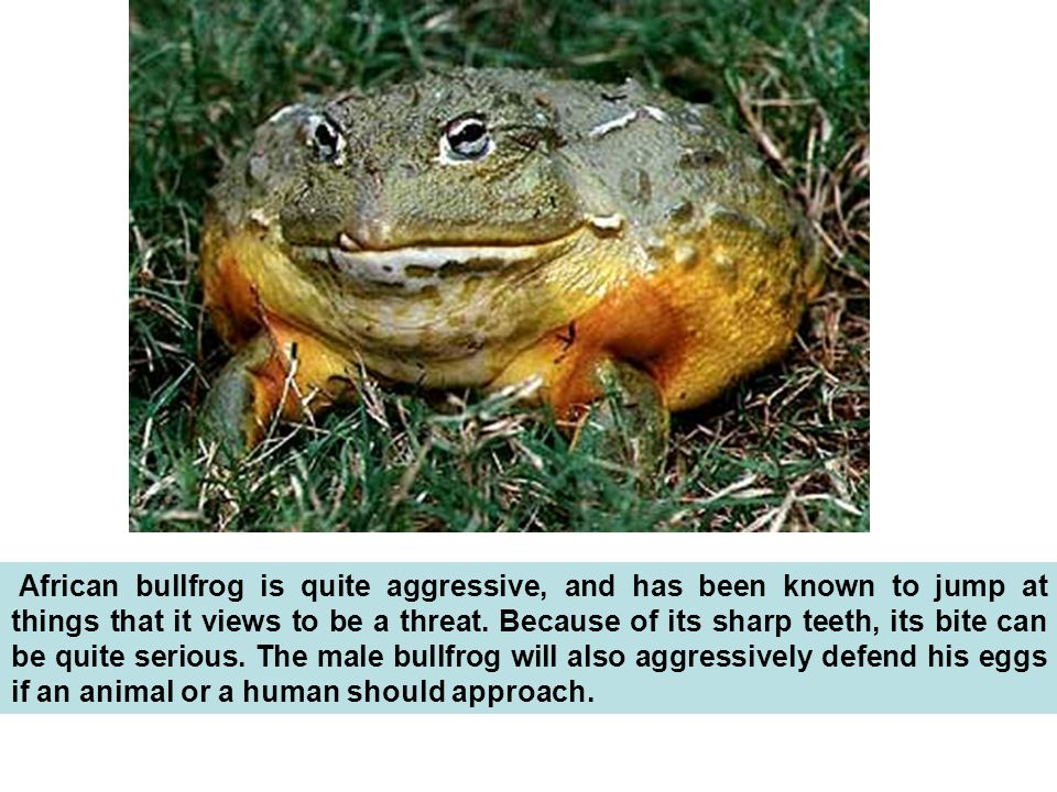 African bullfrog is quite aggressive, and has been known to jump at things that it views to be a threat.
