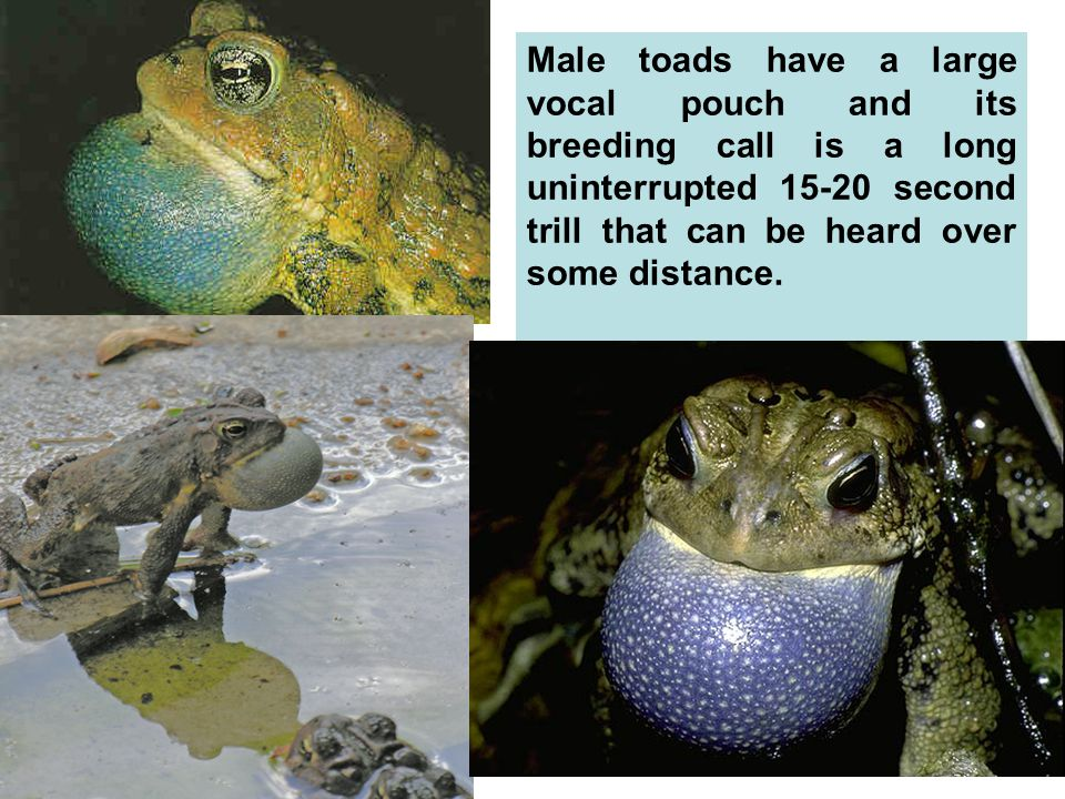 Male toads have a large vocal pouch and its breeding call is a long uninterrupted 15-20 second trill that can be heard over some distance.