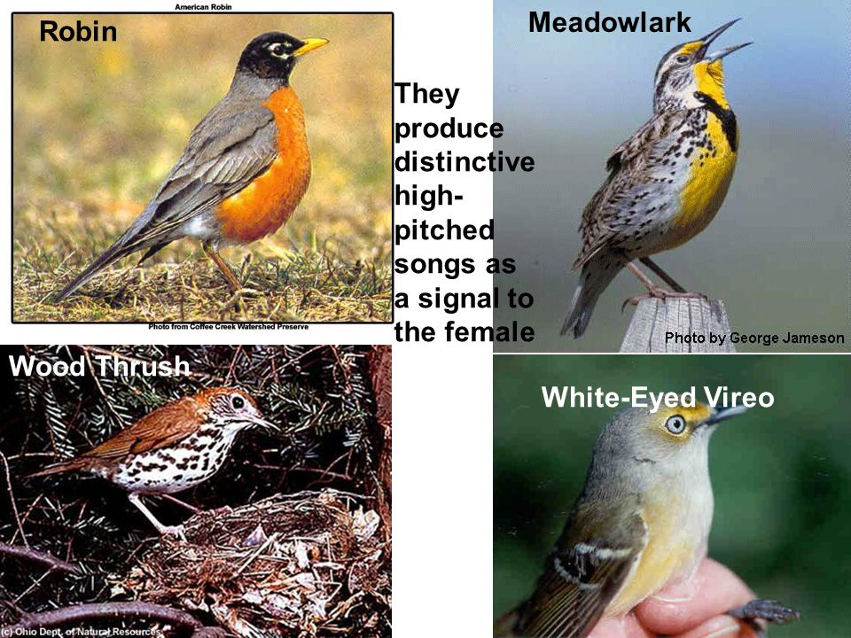 Wood Thrush Meadowlark Robin White-Eyed Vireo They produce distinctive high- pitched songs as a signal to the female