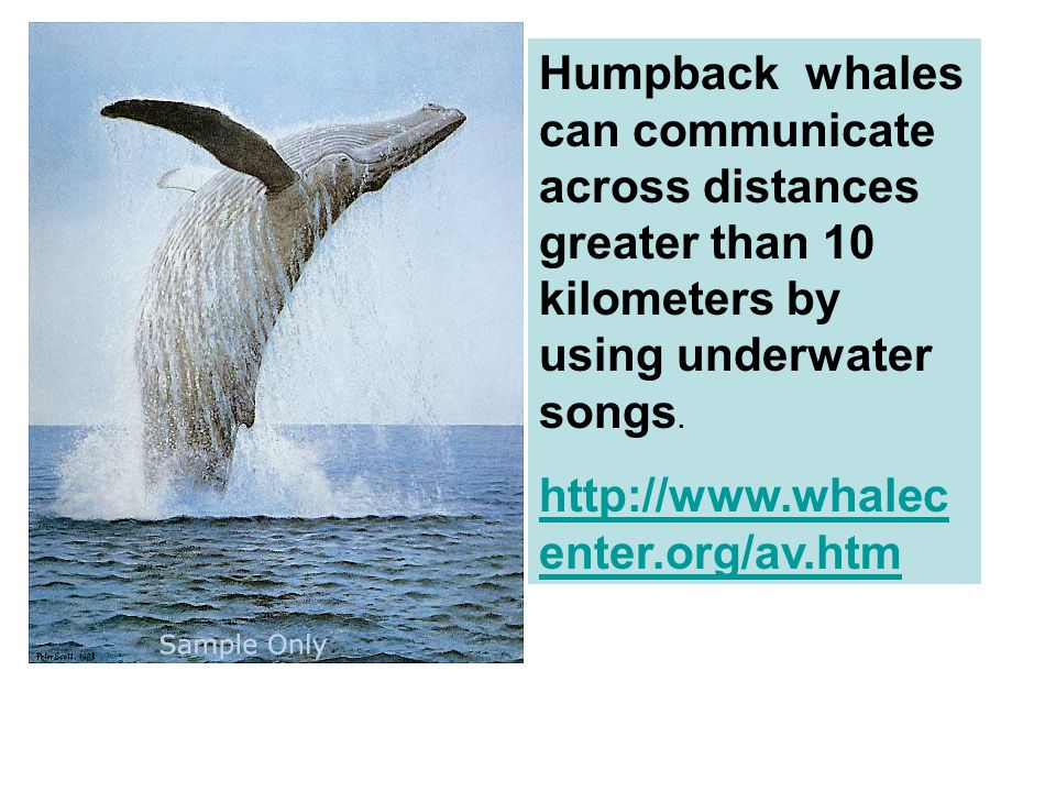 Humpback whales can communicate across distances greater than 10 kilometers by using underwater songs.