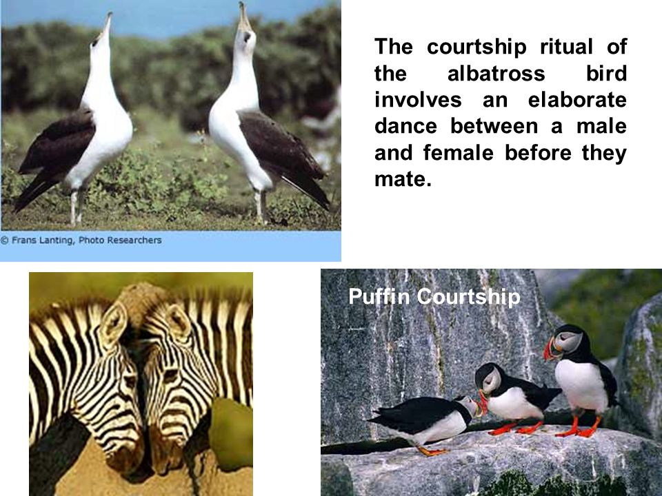 The courtship ritual of the albatross bird involves an elaborate dance between a male and female before they mate.