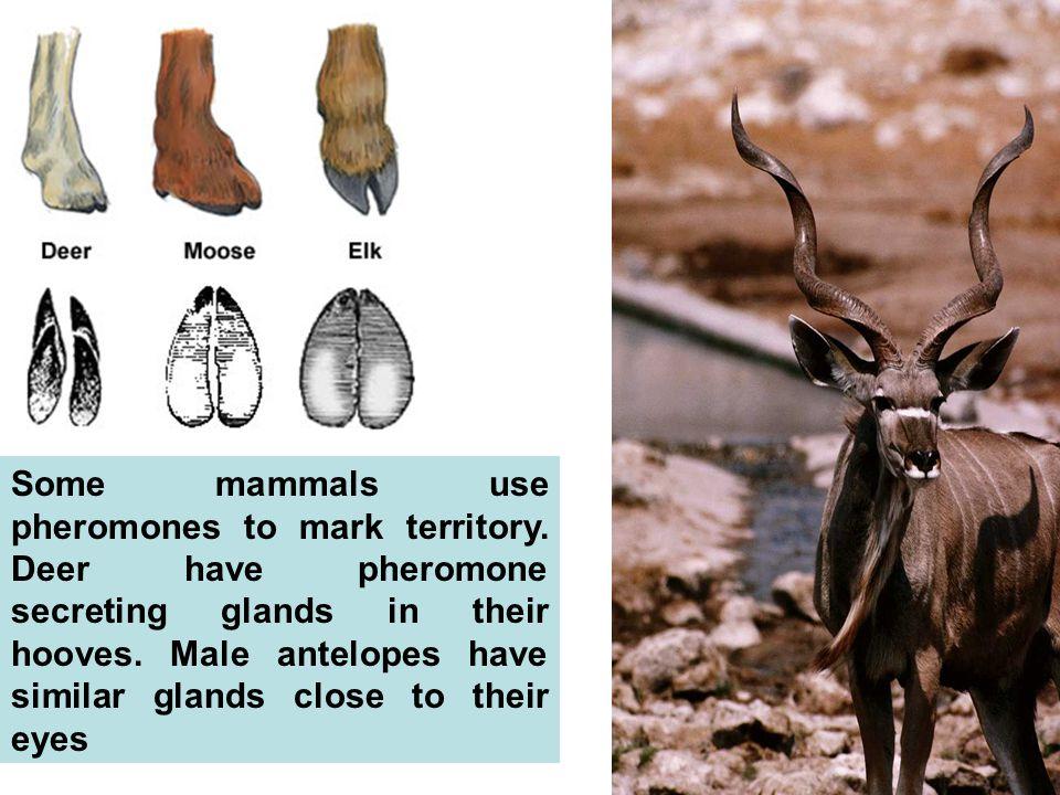 Some mammals use pheromones to mark territory.