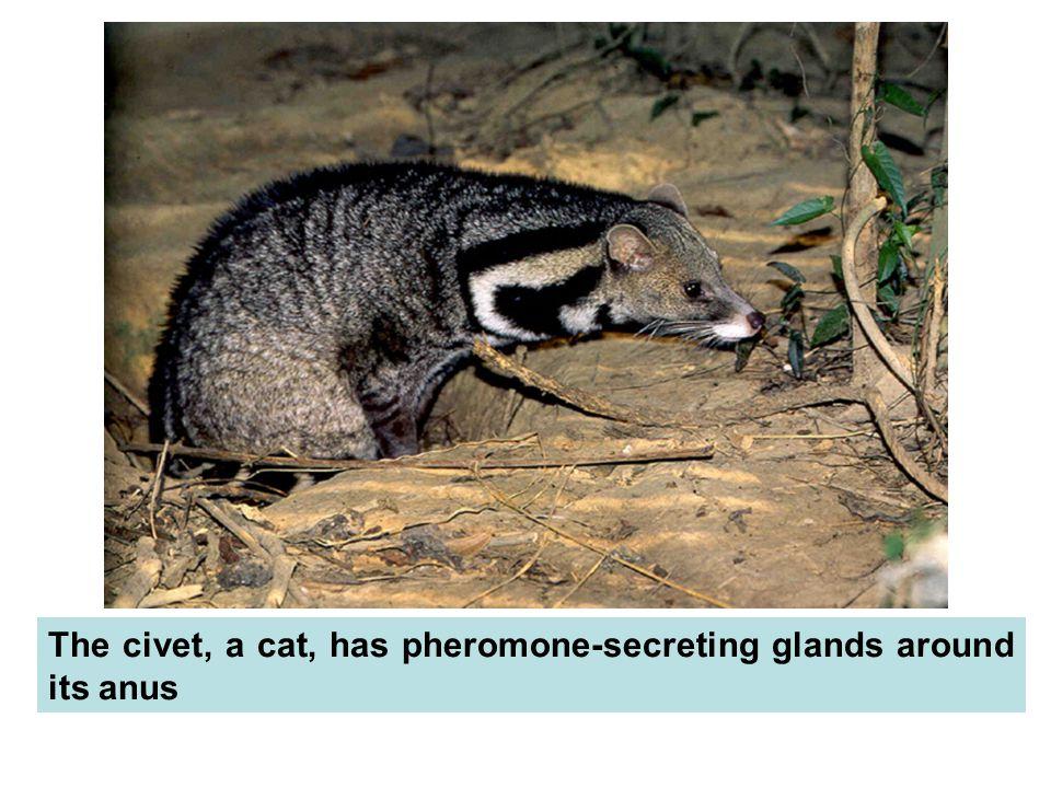 The civet, a cat, has pheromone-secreting glands around its anus