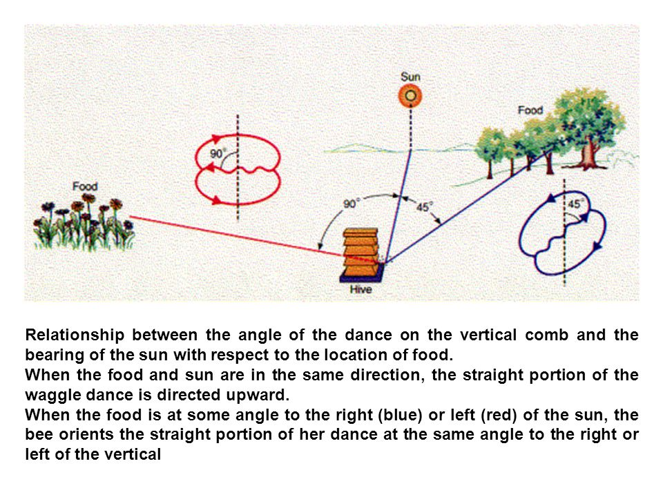 Relationship between the angle of the dance on the vertical comb and the bearing of the sun with respect to the location of food.