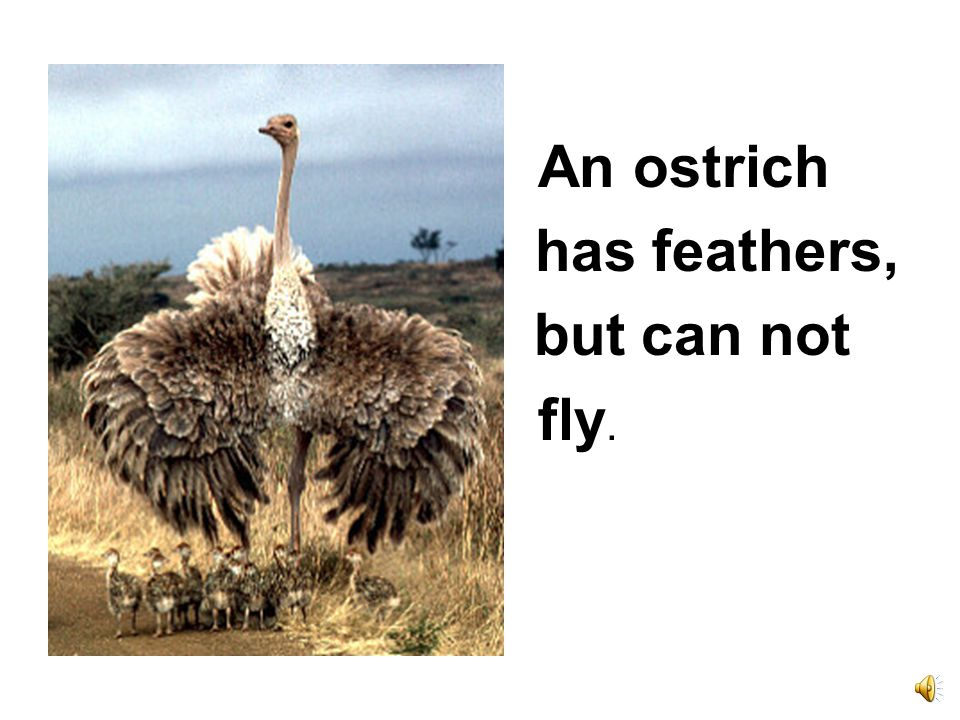 An ostrich has feathers, but can not fly.